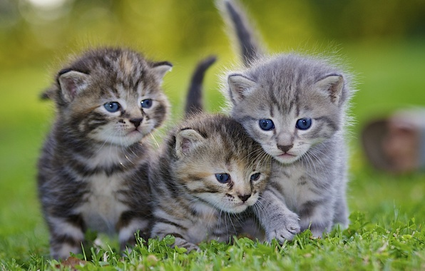 Picture animals, grass, lawn, kittens, grey