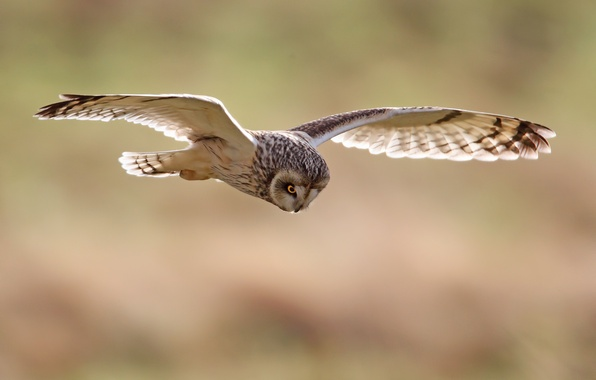 Picture birds, nature, owl, bird, wings, flight, the scope, owl