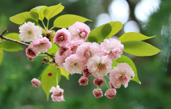Picture macro, cherry, branch, spring, Sakura, flowering, flowers