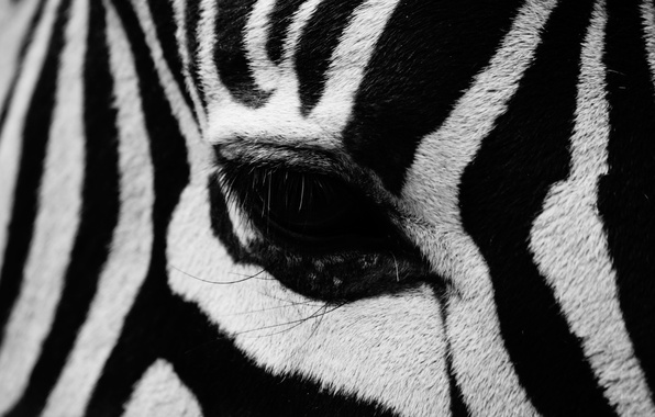 Picture strips, eyes, Zebra