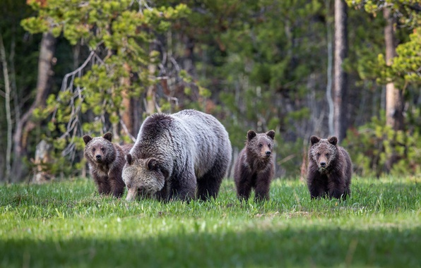 Picture forest, glade, bears, bears, bear