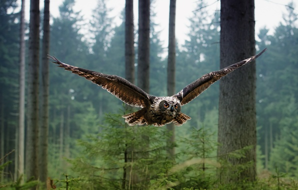 Picture forest, owl, bird, flight