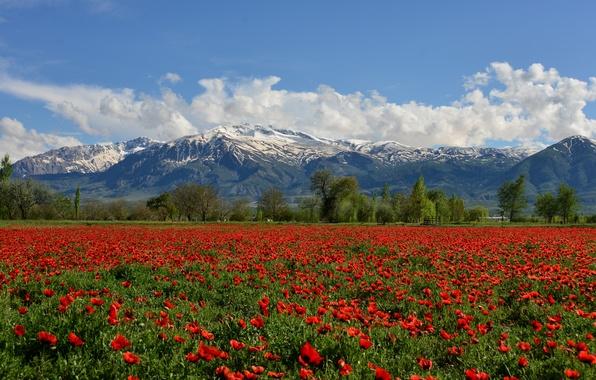 Picture field, flowers, mountains, Maki, Turkey, Turkey, poppy field, Munzur Mountain, Erzincan, Erzincan, The Munzur Mountains