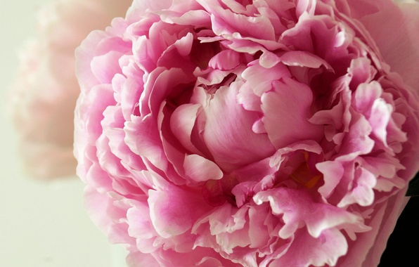 Picture flower, pink, tenderness, peony