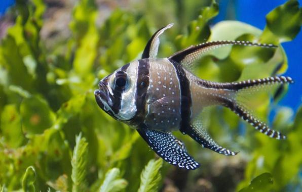 Picture algae, fish, Tulle cardinal, Apogon Kauderni