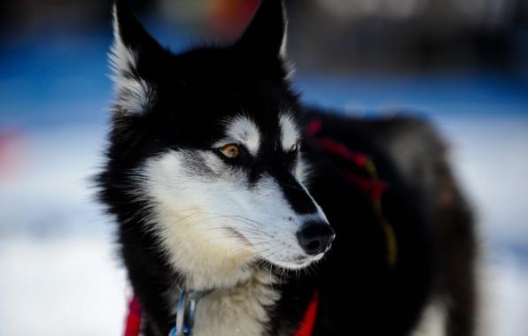 Picture dog, dog, husky
