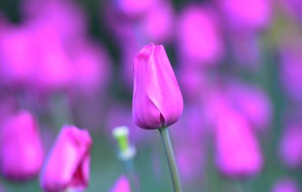 Picture macro, Tulip, petals, stem, Bud