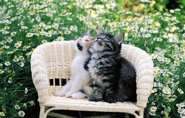Picture cat, cat, flowers, kitty, pussy, chair, two, kitty, cat, Kote