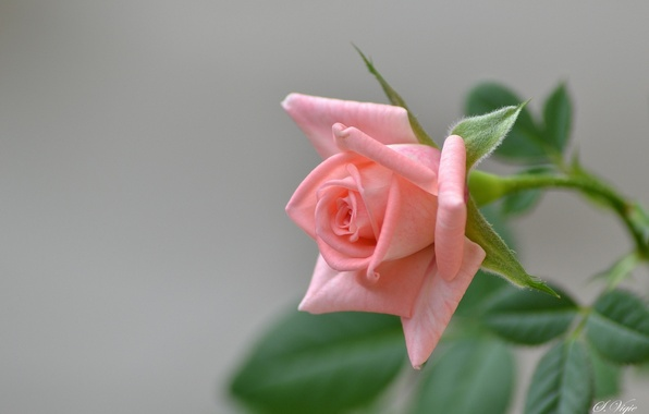 Picture pink, rose, branch, Bud, flowering