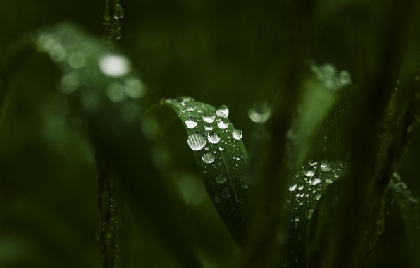 Picture greens, leaves, water, drops, macro, Rosa, background, widescreen, Wallpaper, wallpaper, leaves, widescreen, background, full screen, …