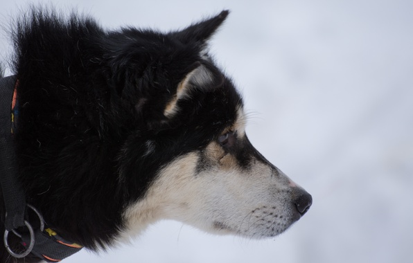 Picture white, snow, Dog, black, husky, Siberia