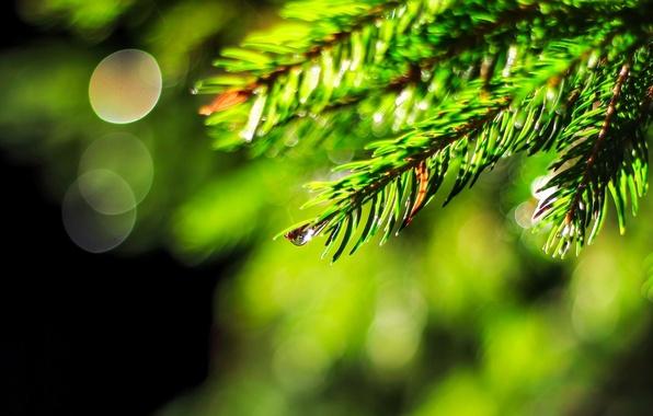 Picture water, macro, green, Rosa, background, widescreen, Wallpaper, tree, drop, spruce, blur, wallpaper, widescreen, background, macro, …