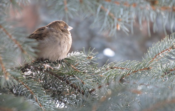 Picture Sparrow, Spruce, Tree, Blue