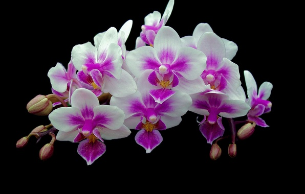 Picture background, branch, petals, Orchid