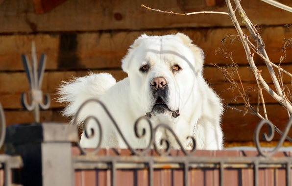 Picture face, branches, wall, the fence, portrait, dog, a sad look, white, handsome, dog