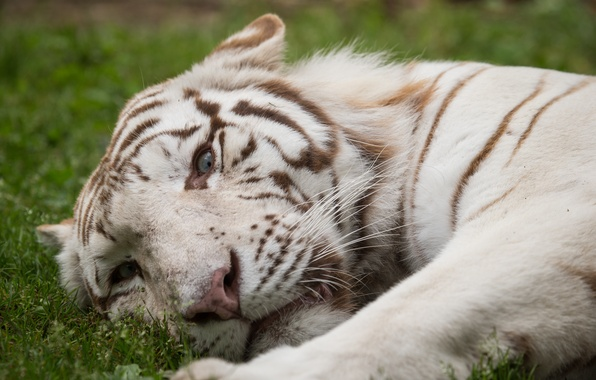Picture cat, grass, look, face, white tiger