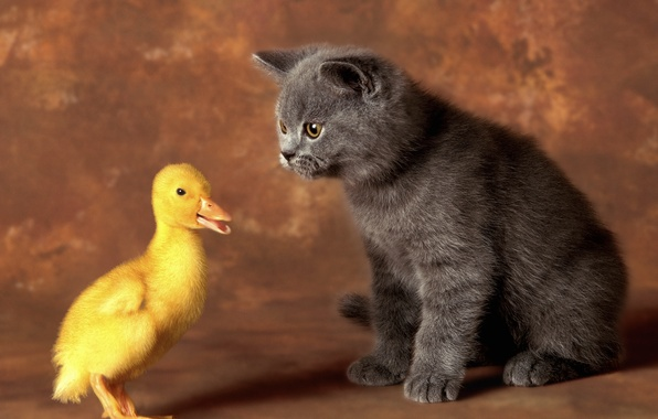 Picture cat, cat, pair, kitty, friends, duck