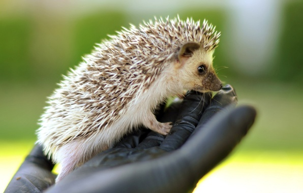 Picture BRUSH, HAND, MUZZLE, NEEDLES, HEDGEHOG
