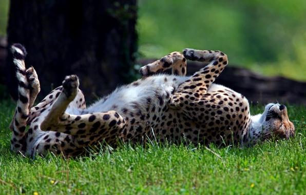 Picture grass, predator, sleeping, Cheetah, Sunny, wild, lying, on the back