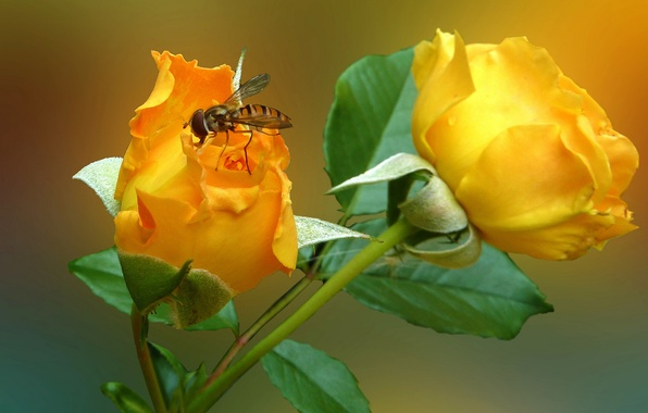 Picture flower, fly, rose, petals, insect