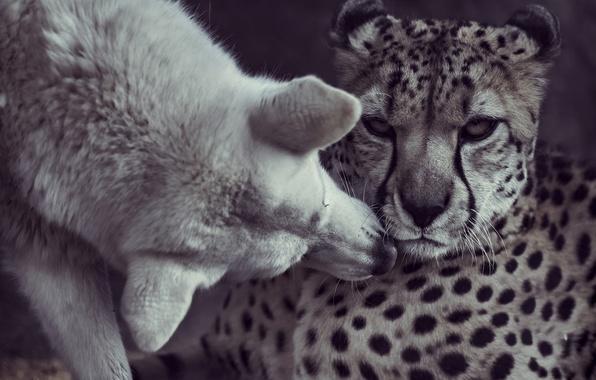Picture kiss, dog, friendship, Cheetah, friends