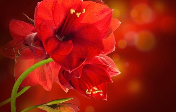 Picture glare, red background, Amarilis, crane