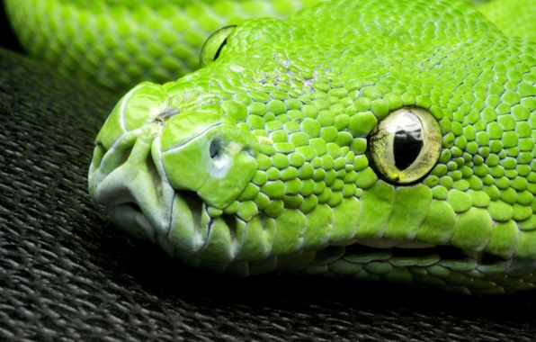 Picture LOOK, HEAD, EYES, SNAKE, GREEN, SCALES