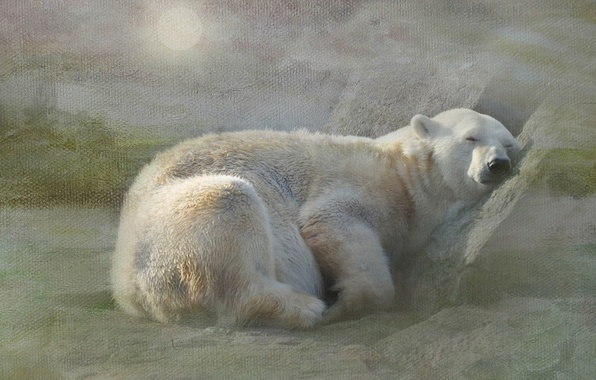 Picture white, snow, stay, sleep, texture, bear, polar