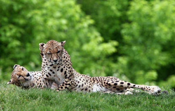 Picture greens, grass, cats, stay, predators, pair, wild, lying, cheetahs