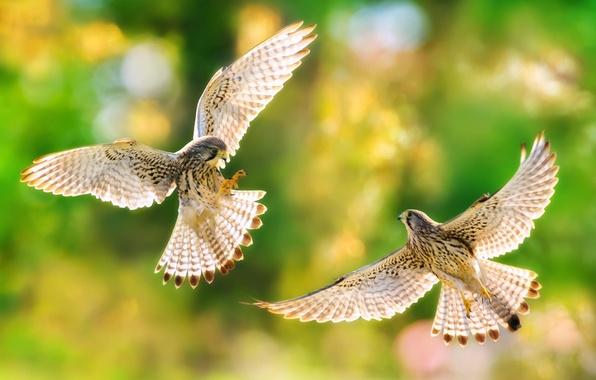 Picture birds, nature, wings, predators