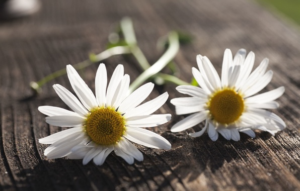 Picture white, flowers, background, widescreen, Wallpaper, chamomile, Daisy, wallpaper, flowers, flower, widescreen, background, full screen, HD …