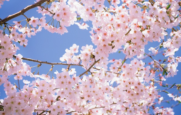 Picture the sky, flowers, branches, cherry, tenderness, beauty, spring, petals, Japan, Japan, pink, white, white, pink, …