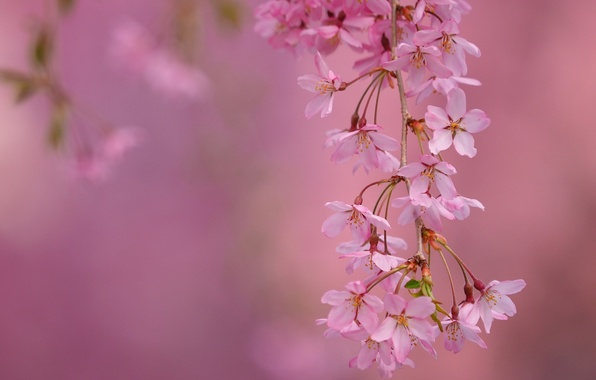 Picture macro, cherry, branch, spring, flowering, flowers