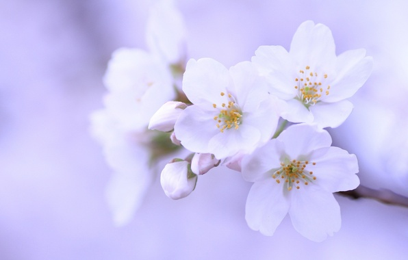 Picture macro, flowers, cherry, sprig, background, tree, lilac, petals, Sakura, white, buds