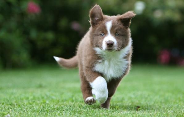 Picture grass, puppy, husky, walks, dog