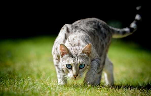 Picture cat, grass, cat, look, blue eyes, bokeh