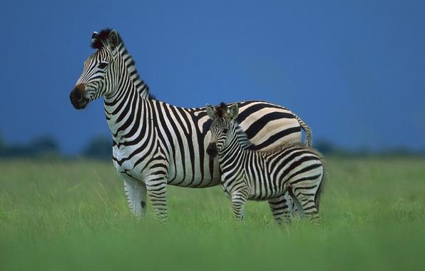 Picture the sky, Zebra, Savannah, Africa, foal
