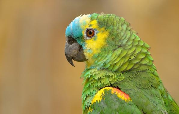 Picture bird, portrait, parrot, Sidelobes Amazon