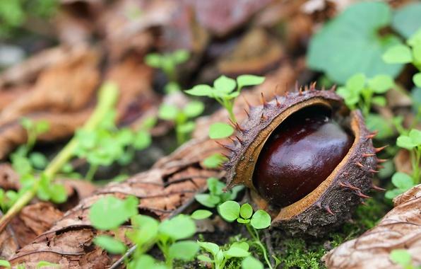 Picture autumn, leaves, macro, chestnut