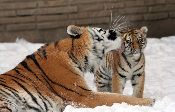 Picture cat, snow, love, tiger, kiss, family, kitty, tigress, tiger, Amur