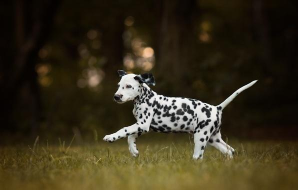 Picture dog, puppy, walk, Dalmatian, bokeh