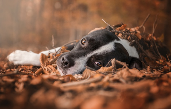 Picture sadness, autumn, forest, eyes, look, foliage, dog, lies