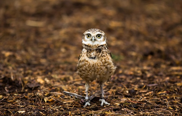 Picture nature, background, owl