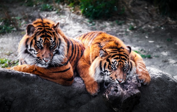 Picture stone, predators, pair, wild cats, tigers