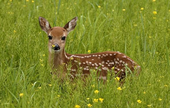 Picture greens, grass, look, deer