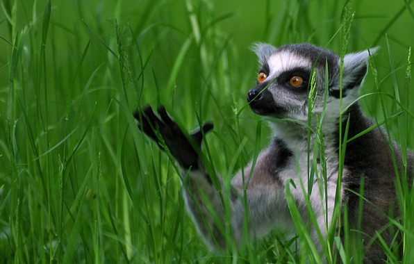Picture grass, lemur, A ring-tailed lemur, Katta