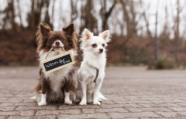 Picture dogs, the inscription, street, plate, two, friends, Chihuahua