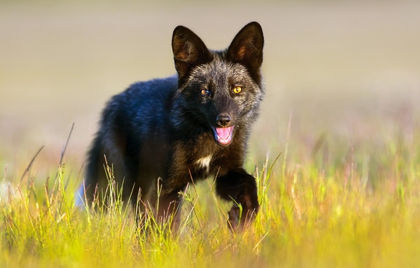 Picture grass, Fox, black, Fox