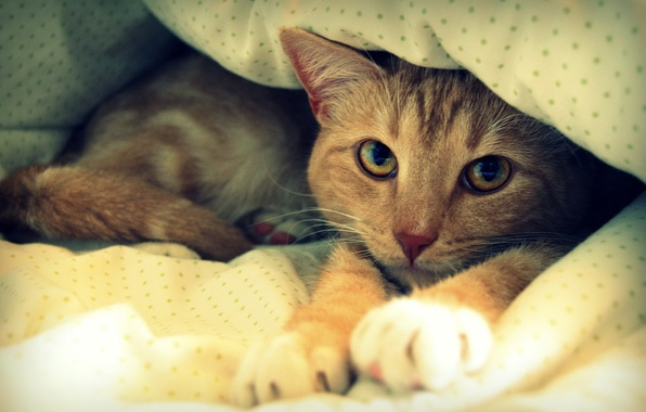 Picture cat, red, bed, blanket, resting