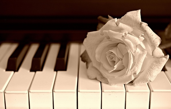 Picture flower, music, rose, piano